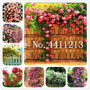Bon marché 200 Pcs Rose graines de plantes Bonsai, Thaïlande Escalade Rose Rare Arbre de fleurs multicolores Sélection Bonsai Plante en pot pour jardin