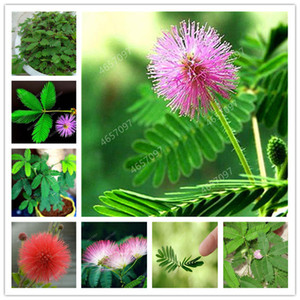 300 pcs Mimosa Bonsai Plants seeds Perennail Indoor Flowering Potted Plant Rare Mimosa Pudica Flower For Home Garden Shy Grass Plants