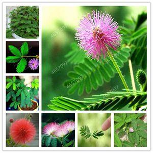 300 pcs mimosa bonsai plantes graines Perennail floraison intérieure plante en pot rare mimosa pudica fleur pour maison à la maison jardin timide plantes