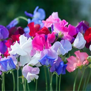 1 confezione di semi pacchetto originale del pisello dolce fiore bonsai piante fiori Heirloom del pisello dolce fiore albero rosa Hardy Everlasting Pea sweetpea NO66