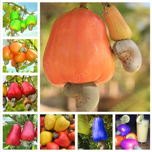 Fruit bonsai 20 pcs Cashew Tree plants Seeds Anacardium Occidentale Tropical New Pot Planting Gardens Miracle Fruit plants Shipping