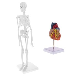 45cm Simulation Human Body Skeleton Model + Lifesize Human Heart Model Set Learning Aid Lab Supplies