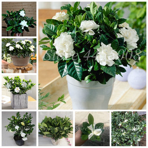 500 pcs  bag Seeds Bonsai Gardenia Jasminoides Flower Outdoor Fragrant Flowers White Cape Jasmine Blooming Flore for Home Pot Planters