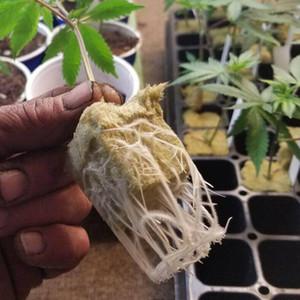 Cubes Grow Plug Soilles Plantin Sponge planting grow Grodan Starter Cubes rock wool media Spread Cloning Rock wool Cubes