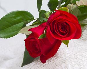 Livraison gratuite Red Rose Graines * 50 Pièces Graines par paquet Nouvelle Arrivée Ombre Jardin des Plantes de Charme (2bag / paquet)