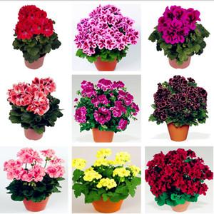 Hot 100 Teile / beutel Mehrere Farbe Geranium Seeds Mehrjährige Klettern Blumensamen Pelargonium Indoor Beauty Blume Pflanze Für Garten