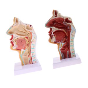 2-piece Anatomy 1:1 Human Nasal Oral Cavity Throat Model, Normal & Pathological Contrast Model