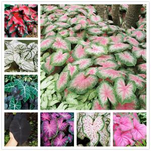 Venda 30 Pcs Caladium Sementes de Plantas de Interior Florida Caladium Bicolor Sementes Bonsai Colocasia Planta Raras Sementes de Flores para Casa Jardim