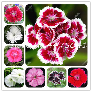 2020 New !200 Pcs Exotic Carnation Dianthus Bonsai plant seeds,Dianthus Caryophyllus Flower Bonsai Balcony Potted Courtyard Garden Plants