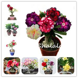 100% TRUE NUOVA Thailandia innestata doppia petalo Desert Desert Semi di rosa in vaso Dwarf Home Garden Flowers Bonsai Piante Adenium obesum 2 PZ