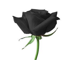 Livraison gratuite Black Seeds Rose * 50 Pièces Graines par paquet Nouvelle Arrivée Ombre Jardin des Plantes de Charme (2bag / paquet)