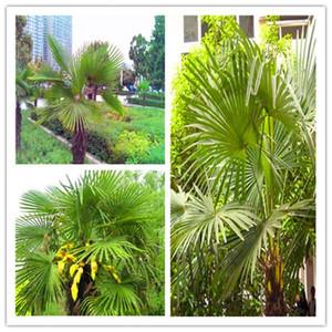 50 pcs bag Blue Cycas bonsai, Sago Palm Tree plant,Cycas Tree bonsai,the budding rate 97% rare potted plant for home garden