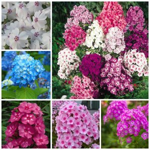 Venda imperdível! 100pcs mista planta cor phlox Phlox Drummondii cuspidata flor flores flores phlox vaso bonsai plantas casa garde