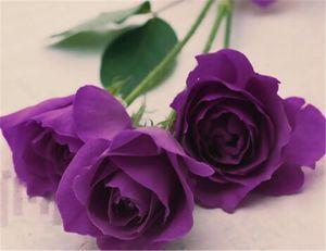 Kostenloser Versand Purple Rose Seeds * 50 Stück Samen Pro Paket der neuen Ankunfts-Ombre mit Charme Gartenpflanzen (2bag / pack)