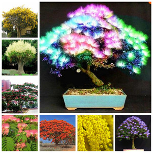50 pc / sacchetto Semi Arcobaleno Albizzia Acacia bonsai del fiore del balcone Indoor piante da esterno Albero Albizzia fiori in vaso Per la casa Giardino