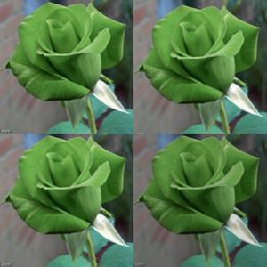 100 Pcs Vert Rose Rosa Bush Arbuste Vivace Fleur Graines Adenium Obesum Bonsaï Roses Fleur Graine Bloom Balcon Jardin Des Plantes Cour cadeaux