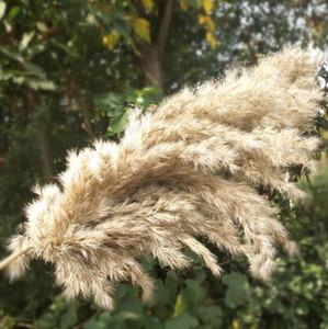 Pampas séchée naturelle Herbe Phragmites Communis Reed Plantes Fleur De Mariage Bunch à la maison Décor DIY DIY Fleurs séchées Pampa Herbe