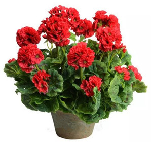 Red Geraniums Flower Seeds Perennial Bonsai Flower Easy to Grow From Rose Flower Seeds 100 Pieces Per Parcel Wedding Flowers Free Shipping