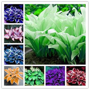 1000 PC Bonsai Hosta Plantas mezclaron las semillas de Bonsai Jardín de plantas perennes Lily Tiesto blanco del cordón del jardín de DIY la cubierta de tierra planta de la hierba