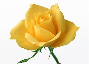 Семена Бесплатная доставка Желтая роза * 50 шт семян в пакет нового прибытия Ombre Очаровательная Садовые растения (2bag / уп)