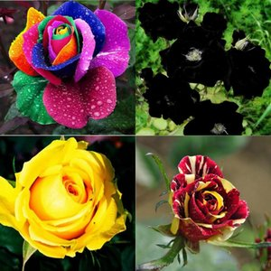 Garden Plants New Varieties Colors Rose Pink Purple Rose Seed - Color 100 Seeds Per Package Flower Seeds Home