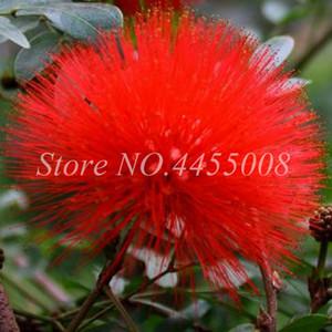 Bonsai 100 pc semi rossi Albizzia acacia Fiore esterna Bonsai Albizzia organico fiore in fiore Pianta in vaso giardino della casa di piantagione