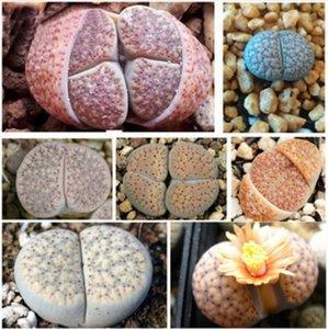 Lithops hallii fiore pianta casa palla da giardino regali decorazioni piante viventi fiore di pietra fresco reale Lithops Aizoaceae Pseudotru Semillas