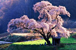 Wholesale Oriental Cherry Blossom Tree in a Japanese Park Art Silk Print Poster x36inch x90cm