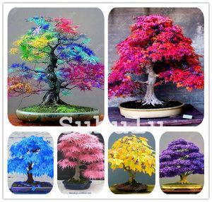 100% True USA rare Rainbow Maple Plant Bonsai Tree seeds Pot Suit For Diy Home Garden Japanese Beautiful Multicolor Maple seeds 30 Pcs bag