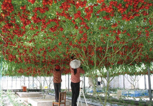 High-grade plants, 100pc large climbing tree tomato seeds, high-yield seeds bonsai fruit on Sale
