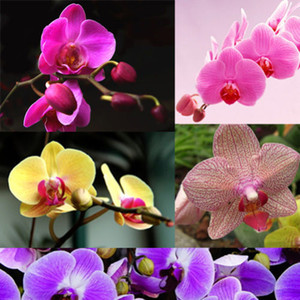 Orchid species -Phalaenopsis equestris flower garden decoration plant 20pcs F60