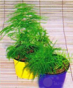 Balcony plant Asparagus setaceus Perennial Bonsai seed Common Asparagus Fern seeds Lace garden decoration plant 6pcs A028