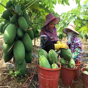 Papaya tree seeds Fruit Fresh Tree Seeds garden decoration plant 20pcs B32