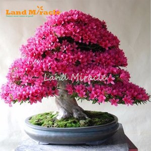 Wholesale 10 Seeds Pack Japanese cherry blossom Sakura seed oriental cherry Bosai Flower Seeds w Strong Fragrance