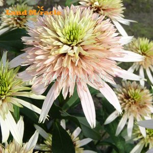 Wholesale Flower Seeds Seeds Indian Guardian of God Echinacea Purpurea Seed Coneflower Bonsai Seed