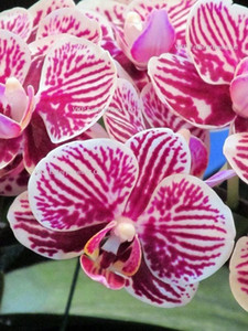 Phalaenopsis Moth Orchid Flower Seed Grown Pink With White Stripes garden decoration plant 20pcs F64