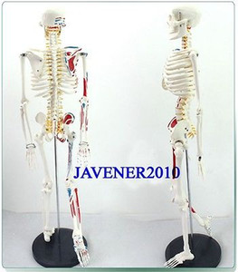 анатомический человек оптовых-cm Human Anatomical Anatomy Skeleton Medical Model Muscle Stand Fexible