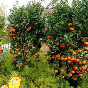 Wholesale 65xy Fruit Seed Dwarf Standing Orange Tree Seeds Oranges Indoor Plant In Pot Garden Decoration Plants For Home Hot Sale kk