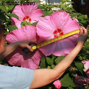Wholesale 50 Particle bag Giant Hibiscus Flower Seeds Hardy Mix Color DIY Home Garden Potted Or Yard Flower Plant