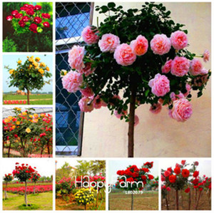 Wholesale Lowest Price bag Genuine Fresh Rare Rosa Chinensis Dendroidal ROSE Flower Tree Seeds Mix Color Light Up Your Garden