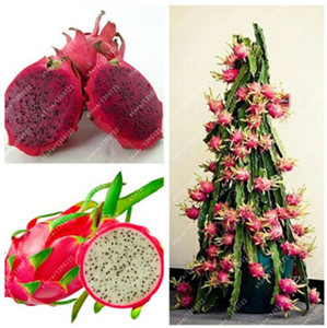 100% Real Dragon fruit seeds white and red Pitaya seeds for home garden Non-GMO fruit seeds bonsai or potted plants 100 pcs bag