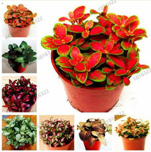 100 pcs bag Fittonia Verschaffeltii Seeds, Easy Planting Balcony Fun Indoor Potted Flowers Seeds DIY Home Garden Flower