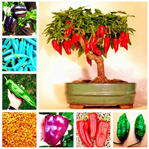 Organic vegetable Seed 100 Pcs Chocolate Naga Jolokia Chilli Seeds, Ghost Pepper - Bhut Jolokia for home garden plant