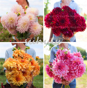 50 PCS Giant Dahlia Flower Dahlia Seeds Charming Bonsai Colorful Flower Seeds High Germination Home Garden Perennial Potted Plants