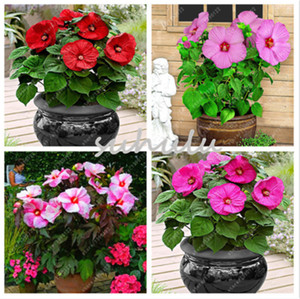 Wholesale 100 bag hibiscus flower seeds giant bonsai hibiscus seed balcony potted flower seeds dwarf plant easy grow for home garden