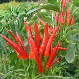 NO-GMO red hot chili peppers Seeds, home fruit and vegetable seeds 200 particles bag