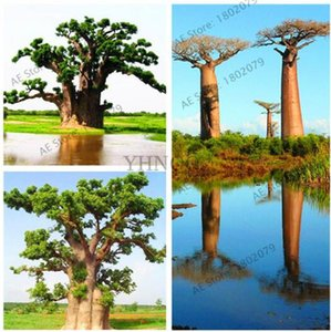Australian Baobab tree seeds,crowns huge,Boba trees,rare tree seeds,unique,10 pcs bag Free Shipping