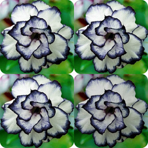 Wholesale 100 Pieces Rare Black White Desert Rose Seeds Adenium Obesum Flower Perennial Exotic Plants Flower Seeds Bloom Balcony Garden Yard