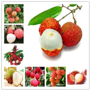 Wholesale Hot sale litchi giant Lychee Home Gardening Outdoor Fruit bonsai tree Sementes House plant pot Survival rate is very high