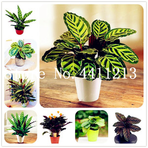 Hot Sale! 100 Pcs Calathea Bonsai plant seeds Air Freshening plants High Humidity, Easy to Grow, Office Desk Bonsai for Flower Pot Planters